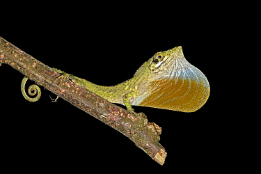 Anolis insolitus is a twig anole from the Cordillera Central of the Dominican Republic. Its a mountain dwelling species. It is easier to find at night when its perched sleeping at the end of twigs at...