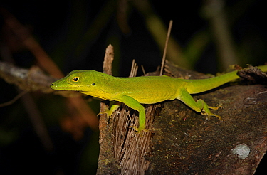Anolis coelestinus photographed in Cachote, Bahoruco Oriental. This species in wide spread throughout many habitats of southwestern Hispaniola.