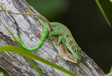 Anolis eladioi is a recently described species of anole from the cloud and pine forests of Western Sierra de Bahoruco. Male are characterized by 3 brown oceli on each side of the head, neck and should...