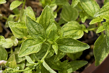 Two-spotted spider mite (Tetranychus urticae) grazing damage to the leaves of a perennial pot plant Nemesia, Berkshire, England, UK, June