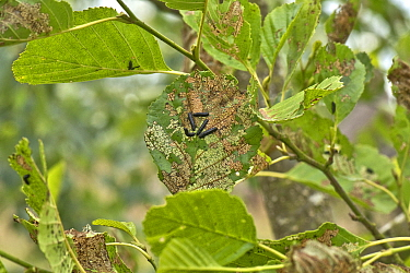 Alder leaf beetle (Agelastica alni) black larvae and severe leaf damage to alder (Alnus glutinosa) tree, Berkshire, England, July
