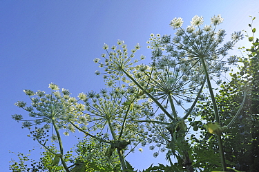 Umbels of flowers of poisonous and notifiable plant giant hogweed (Heracleum mantegazzianum) against blue sky, Devon, England, UK, June.