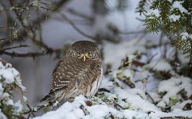 Eurasian pygmy owl (Glaucidium passerinum) on snowy branch, Multia, Keski-Finland, January. / Central Finland, Finland, January.