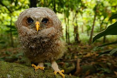 West African wood-owl (Strix woodfordii) fledgling portrait, Cross River State, Nigeria.