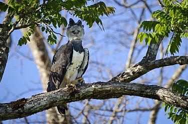Female Harpy Eagle (Harpia harpyja) perched close to its nest. Pousada Currupira d'Araras, south west Brazil.