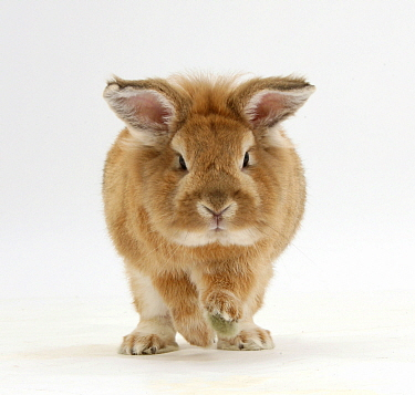 Lionhead x Lop rabbit, Tedson, running, against white background