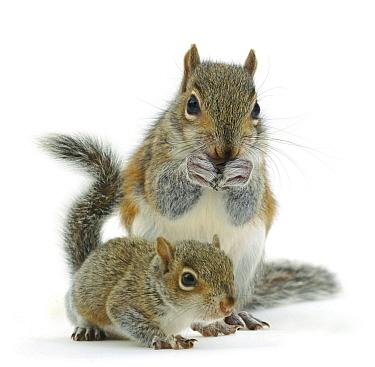Grey squirrel (Sciurus carolinensis) adult and baby, against white background.