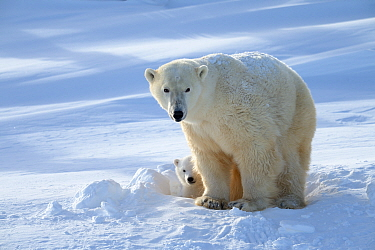 Polar bear (Ursus maritimus) female coming out the den with one three month cub. Wapusk National Park, Churchill, Manitoba, Canada, March.