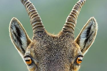 Alpine ibex (Capra ibex) close up portrait of young, Bernese Alps, Switzerland, August.