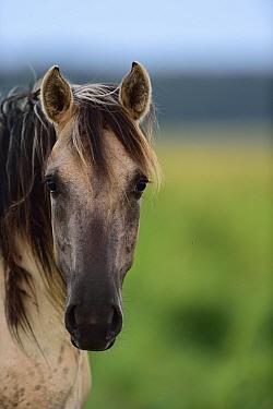 Wild Konik horse portrait, Odry delta reserve, Stepnica, Poland, July.