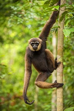 Agile Gibbon (Hylobates agilis) in Tanjung Puting National Park, Borneo-Kalimatan, Indonesia.