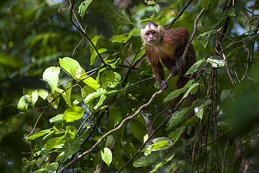 White-fronted Capuchin Monkey (Cebus albifrons) in forest canopy, Paujil Nature Reserve, Magdalena Valley, Colombia, South America.