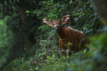 Bongo (Tragelaphus eurycerus) Mbomo, Odzala-Kokoua National Park, Republic of Congo (Congo-Brazzaville), Africa.
