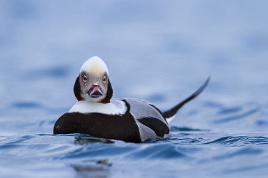 Male Long-tailed duck (Clangula hyemalis) on sea, Batsfjord, Norway. March.