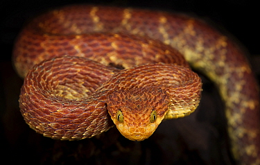 Bush viper (Atheris squamigera) captive, occurs in West and Central Africa.