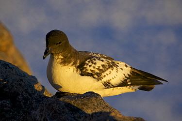Cape Petrel (Daption capense) on rocks, Antarctica.