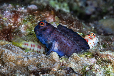 Pair of red-spotted blennies (Blenniella chrysospilos). The male (dark) fertilizing eggs in the burrow beneath him. There was already a female in the burrow. While that female was depositing eggs, the...