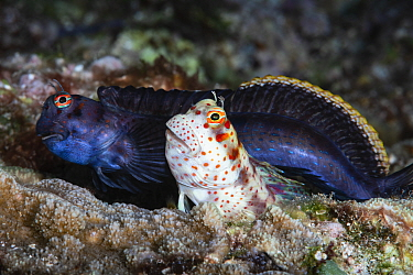 Red-spotted blenny (Blenniella chrysospilos) pair, just finished spawning. After attracting the female (foreground) to his burrow, the male moves to another hole while the female deposits eggs. He vis...
