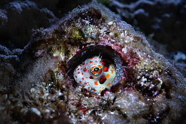 Red-spotted blenny (Blenniella chrysospilos) male watching over a clutch of eggs that are nearly ready to hatch. During spawning, males of this species select and prepare burrows like this, often aban...