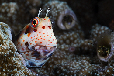 Red-spotted blenny (Blenniella chrysospilos) poking its head out of its home in coral, with two coral hermit crabs (Paguritta sp.) visible in the background. The blenny's home is the abandoned bur...