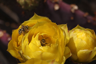 Cactus bee (Diadasia rinconis), two bees collecting nectar and pollen on Prickly pear (Opuntia sp.) blossom, one bee peering out of flower, Sonoran Desert, Arizona, USA.
