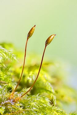 Cypress-leaved plait-moss (Hypnum cupressiforme) fruiting bodies, Whitelye, Monmouthshire, Wales, UK.