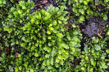 Common pocket moss (Fissidens taxifolius) Catbrook, Monmouthshire, Wales, UK. Focus-stacked image.