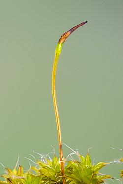 Great hairy screw-moss (Syntrichia ruralis var. ruralis) spore capsule, Catbrook, Monmouthshire, Wales, UK.