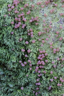 A crutose lichen (Icmadophila ericetorum) with pink fruiting bodies, Catbrook, Monmouthshire, Wales, UK.