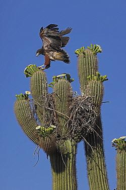 Harris hawk (Parabuteo unicinctus) juvenile in nest in Saguaro cactus (Carnegiea gigantea) practicing flying, Sonoran Desert, Arizona, USA.