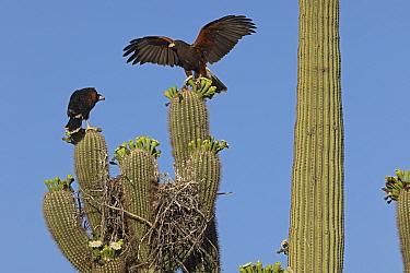Harris hawk (Parabuteo unicinctus) parent visiting nest in Saguaro cactus (Carnegiea gigantea) Juvenile hawk about to fledge, Sonoran Desert, Arizona, USA.