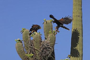 Harris hawk (Parabuteo unicinctus) parent visiting nest in Saguaro cactus (Carnegiea gigantea) with desert rabbit for juvenile about to fledge, Sonoran Desert, Arizona, UK.