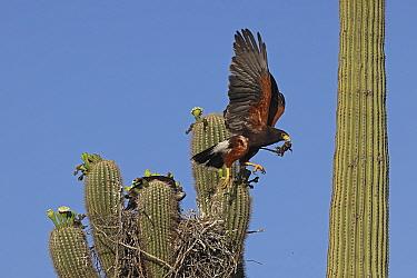 Harris hawk (Parabuteo unicinctus) parent visiting nest in Saguaro cactus (Carnegiea gigantea) with Spiny lizard (Sceloporus sp.) in beak. Juvenile hawk about to fledge, Sonoran desert, Arizona, USA.