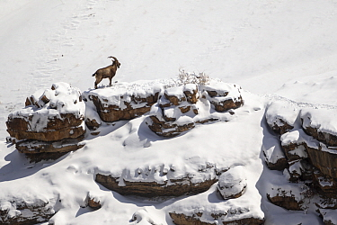 Himalayan ibex (Capra sibirica hemalayanus) young male standing in snow-covered mountainside. They live at elevations of 3800m and higher, western Himalaya mountains, Kibber Wildlife Sanctuary, India....