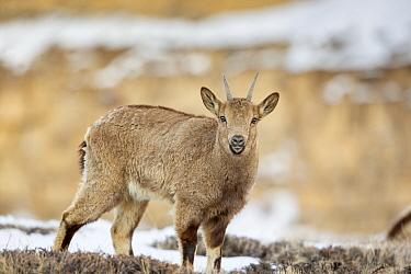 Himalayan ibex (Capra sibirica hemalayanus) female; tThey live at elevations of 3800m and higher, western Himalaya mountains, Kibber Wildlife Sanctuary, India. April.