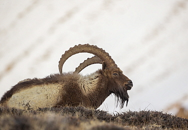Himalayan ibex (Capra sibirica hemalayanus) male resting. They live at elevations of 3800m and higher, western Himalaya mountains, Kibber Wildlife Sanctuary, India. April.