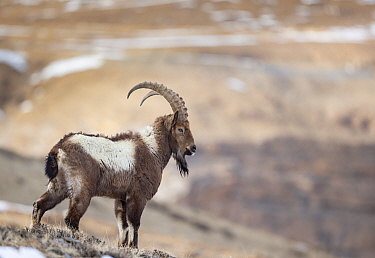 Himalayan ibex (Capra sibirica hemalayanus) male. They live at elevations of 3800m and higher, western Himalaya mountains, Kibber Wildlife Sanctuary, India. April.
