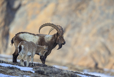 Himalayan ibex (Capra sibirica hemalayanus) male with young. They live at elevations of 3800m and higher, western Himalaya mountains, Kibber Wildlife Sanctuary, India. April.