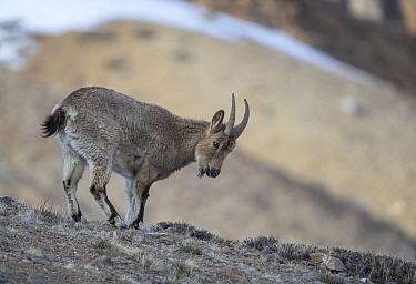 Himalayan ibex (Capra sibirica hemalayanus) female. They live at elevations of 3800m and higher, western Himalaya mountains, Kibber Wildlife Sanctuary, India. April.