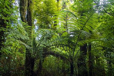 Black tree ferns (Sphaeropteris medullaris) young ferns in understorey, Maungatautari Ecological Island Reserve, Waikato, North Island, New Zealand.