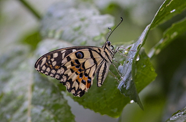 A lime butterfly (Papilio demoleus) rests on a leaf after a light rain the Jardin Botanico de Santo Domingo, Dominican Republic. This species was introduced and feeds primarily on citrus. Sometimes it...