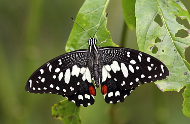 A lime butterfly (Papilio demoleus) rests on a leaf after a light rain in the Jardin Botanico de Santo Domingo. This butterfly species is a recent introduction to island of Hispaniola (Dominican Repub...