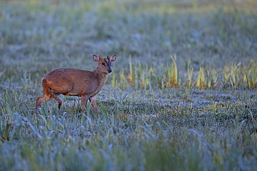 Reeves's muntjac (Muntiacus reevesi) crossing frost covered field, Sweetbriar, Norwich UK, April.