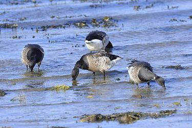 Wintering Pale bellied brent geese (Branta berniicla hrota) feeding on marine grasses, Menai Straits, Anglesey, North Wales, July.