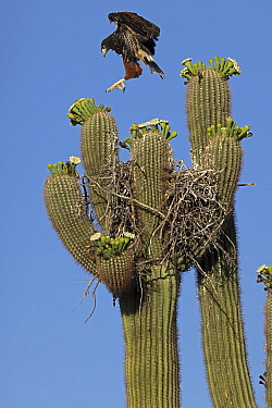 Harris's hawk (Parabuteo unicinctus) juvenile practising flying above the nest in Saguaro cactus (Carnegiea gigantea), Sonoran desert, Arizona.