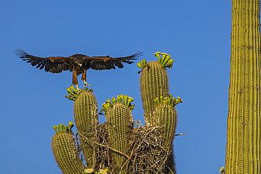 Harris's hawk (Parabuteo unicinctus) juvenile practising flying above nest in Saguaro cactus (Carnegiea gigantea), Sonoran desert, Arizona.