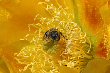 Cactus bee (Diadasia rinconis) collecting nectar and pollen on prickly pear blossom, (Opuntia), Sonoran desert, Arizona