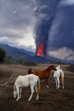 Domestic horses (Equus caballus) with erupting Cumbre Vieja volcano in the background, La Palma Island, Canary Islands, Spain, September 2021.