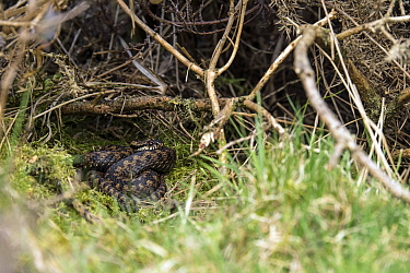 Common European adder (Vipera berus) curled up under a bush, Mendips AONB, Somerset, UK, March, 2021.