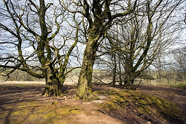 Grove of mature beech trees (Fagus sylvatica) growing on old lead-mining area, Mendips AONB, Somerset, UK, April, 2021.